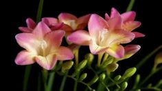 Freesia Seeds Bonsai Flower Seeds Freesia Potted by Perennial Flowering Plants, Herbaceous Perennials, Flowers Perennials, Garden Plants, Planting Flowers, Freesia Flowers, Rare Flowers, Exotic Flowers, Amazing Flowers