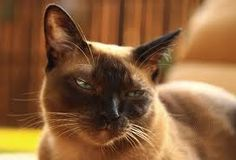 Looks like Zhy - the best tonkinese cat ever