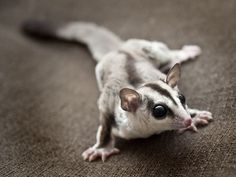 White Face sugar glider Characteristic:  The absence of the bar that extends under the ear toward the chin. White face is not considered an actual color as it can appear on any color sugar glider.