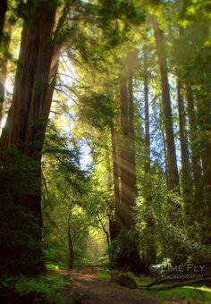 light from behind trees -Muir Woods- Lime Fly Photography, Juan Gonzalez