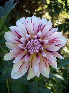 Caribbean Fantasy Dahlia (sometimes has yellow in centre - check) All Flowers, Exotic Flowers, Amazing Flowers, Beautiful Flowers, Gladioli, Dahlia Flower, Zinnias, Dahlias, Flower Pictures