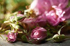 Dr. Hauschka roses