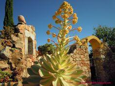 Aeonium em flor