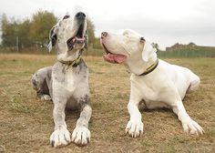 Lily is a Great Dane that has been blind since a bizarre medical condition required that she have both eyes removed. For the last 5 years, Maddison, another Great Dane, has been her sight. The two are, of course, inseparable.