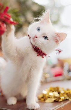 Kitty& Christmas For more Christmas cats visit - Pretty Cats, Beautiful Cats, Animals Beautiful, Cute Animals, Pretty Kitty, I Love Cats, Crazy Cats, Cool Cats, Cute Kittens