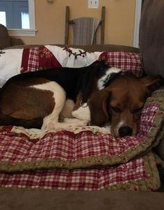 Sleepy #Beagle