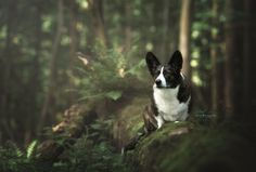 Welsh Corgi by Monica van der Maden on 500px