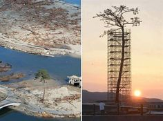 The only tree that survived the tsunami in Japan between 70000 trees. Today protected and restored. #tree