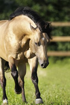 Buckskin; I want one so bad! I refuse to have plainly colored or commonly colored horses