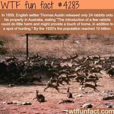 Man Released 24 Rabbits in Australia in 1859 by 1920 population reached 10 billion - WTF fun facts Wow Facts, Wtf Fun Facts, True Facts, Funny Facts, Random Facts, Strange Facts, Random Things, The More You Know, Good To Know