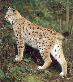 bobcats the animal | ... with and black tufted hearing the bobcat appears like the other types