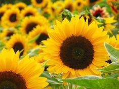 Garden and Farms: Growing Sunflowers Happy Flowers, My Flower, Pretty Flowers, Flower Power, Sun Flowers, Freesia Flowers, Sunflower Flower, Yellow Sunflower, Sunflower Oil