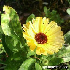 Blüht jetzt schön in meinem Garten! Die Ringelblume #calendula #food #flower #herb #gardening