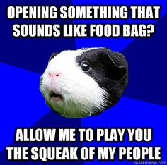 Opening something that sounds like food bag? Allow me to play you the squeak of my people  Jumpy Guinea Pig