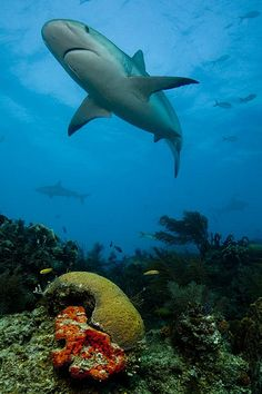 Reef Shark...I Loved to dive with the sharks but scary is an understatement!!!!