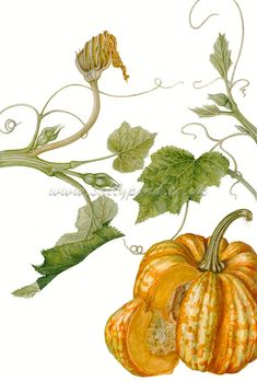 botanical illustration of a pumpkin, with vines and dying flowers
