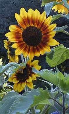 Edible flower buds and flower petals -- Sunflowers. Saute or steam young flower buds and serve like artichokes. Pull petals off open flowers and serve as garnish for salads.