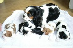 Mama and pups Oh How Sweet is this! Cavalier King Charles Spaniel
