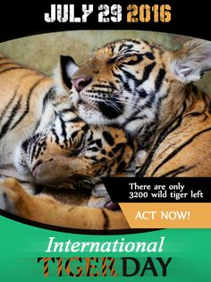 "There Are Only 3200 Wild Tiger Left ""#SaveTheTiger"" 29 JULY 2016 is #InternationalTigerDay!!!"