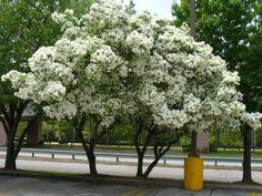 Purple Iochroma. Native Azalea. Chinese Fringe Tree
