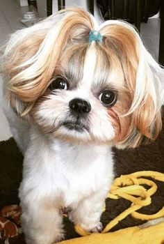 30 Great Names For Shih Tzu Dogs [PICTURES The Shih Tzu was bred as royal lap dog, but they're happy to treat you like royalty, too! Here are a few great names for Shih Tzu dogs if you happen to be bringing home a new friend from the shelter. Chien Shih Tzu, Shih Tzu Hund, Shih Tzu Puppy, Shih Tzus, Baby Shih Tzu, Shitzu Puppies, Cute Dogs And Puppies, Baby Dogs, Doggies