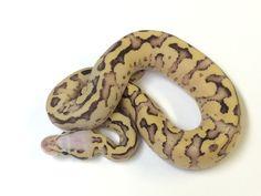 Axanthic Lemon Blast Ball Python Ball pythons Ball