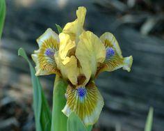 Pokemon Iris
