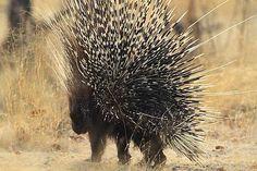 Porcupine in Namibia - Etosha