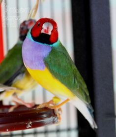 My RH LB male Gouldian Finch in my new mini flock. He's got a goofy personality & a striking Lilac Breast. (Photo by Randy Hume)     TWFA 2014