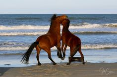 Corolla wild mustangs playing on the beach on the Outer Banks, North Carolina. #johnsamsphotography #photography #travelphotography #wildhorses #horse #stallion #wildlife #canvasprint #photographyprint #homedecor #homedesign #countrystyle #wallart #northcarolina #obx #outerbanks Photography Career, Wildlife Photography, Travel Photography, Horse Wall Art, Us Marine Corps, Wild Mustangs, Sams, Wild Horses, Country Style