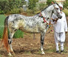 Kathiyawadi Horse, Horses, Photo Credit, Westerns, Grey, Animals, Beautiful, Gray, Animales