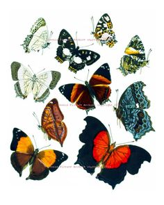 This is a reproduction print of an 1800s era antique butterflies illustration that has been digitally restored.    * This listing is for one