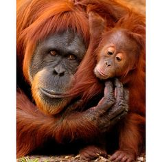 inch Canvas Print (other products available) - A mother and baby orangutan share a hug. - Image supplied by Australian Views - Box Canvas Print made in the USA Primates, Mammals, Animals And Pets, Baby Animals, Cute Animals, Beautiful Creatures, Animals Beautiful, Regard Animal, Monkey See Monkey Do