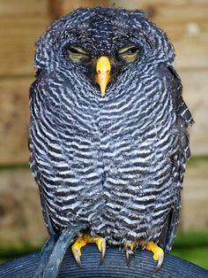 Black-banded owl by Daniel2005, via Flickr