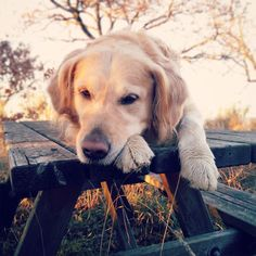He is just acting cute...  . #dog #dogs #golden #goldenretriever #goldenretrievers #sunset #sun #table #outdoors #pet #pets #puppy #puppies #dogsofinstagram #cat #cats #actor #acting #cute #love #cane #perro #cani #tramonto #animal #animals #picoftheday #social #