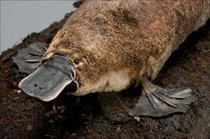 """amnhnyc: """" Some living animals that have certain primitive features, like the egg-laying mammal platypus, are called """"living fossils."""" Charles Darwin coined the term in his book On the Origin of Species. The platypus is a monotreme—a group where the. Funny Animal Names, Funny Animals, Cute Animals, Funny Names, Animal Memes, Weird Names, Alternate Animal Names, Mammals Images, Duck Billed Platypus"""