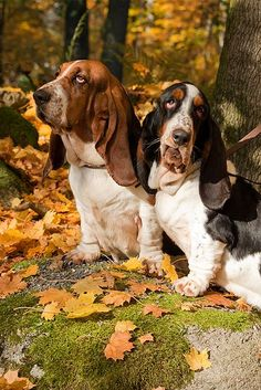 BASSET HOUNDS - look at that face