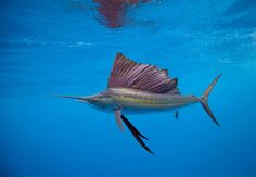 Sailfish can leap out of water at a speed of 68 mph Considered the fastest fish in the ocean, its speed is as much as that of a running cheetah, the fastest land animal. This speed is facilitated by its hydrodynamic shape, a giant dorsal fin and a long, pointy nose.