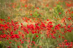 Poppies by Francesco IF on 500px
