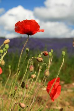 Wild Poppies by Adie Ray