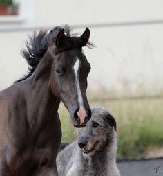 Magic Shalimar Magnifique (Magic Magnifique X Neda) Pur Sang Arabe noire née en 2013 Et  Gandalf Irish Wolfhound