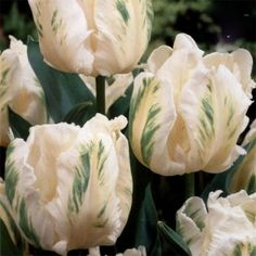 Madonna is a white, parrot tulip bulb with green flecks. Growing to around in height, Madonna will flower in May, ideal for mixing into many colour schemes or using with other white bulbs for a 'pure' design Real Flowers, Cut Flowers, Madonna, Tulip Bulbs, Parrot Tulips, White Gardens, Colour Schemes, Beautiful Gardens, Planting Flowers