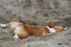 Me when I get to the beach... Ahhh....the sand is so warm. Corgi on/in the beach. Zzzzzzz