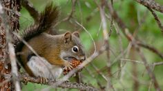 An American Red Squirrel, a type of Pine Squirrel, lunches on a Lodgepole pine cone. The squawk of the the American Red Squirrel ( Tamiasci. American Red Squirrel, Mammals, Funny Animals, Wildlife, Owl, Bird, Pine Cone, Squirrels, Lunches