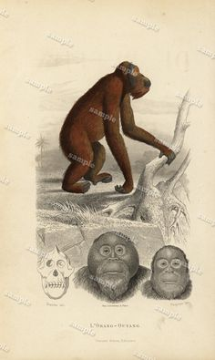 1850 Antique Natural History Animal  Print  Apes by Printvilla4you