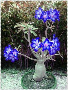 Unusual Flowers, Beautiful Flowers Garden, Amazing Flowers, Blue Flowers, Weird Plants, Unusual Plants, Cool Plants, Plantas Bonsai, Desert Rose Plant