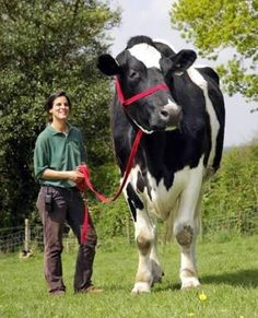 worlds largest cow    6ft 6in  and well over a ton   thats a lot of beef