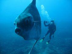 Scuba Diver Life - Swimming with a Sun Fish
