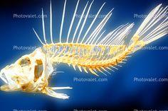 Red Lionfish skeleton, (Prerois volitans), Scorpaeniformes, Scorpaenidae, Pteroinae, venomous spines, poisonous, scorpionfish, venemous