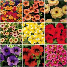 Calibrachoa for Baskets, Borders, and Butterflies. I need to remember all of these! I do not like Impatiens, and these will grow in my zone!